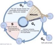 Cellcycle