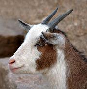 Domestic Goat Portrait (aka)