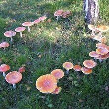 Mushroom circle