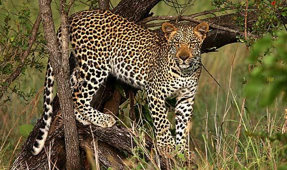 File:African Leopards2.jpg