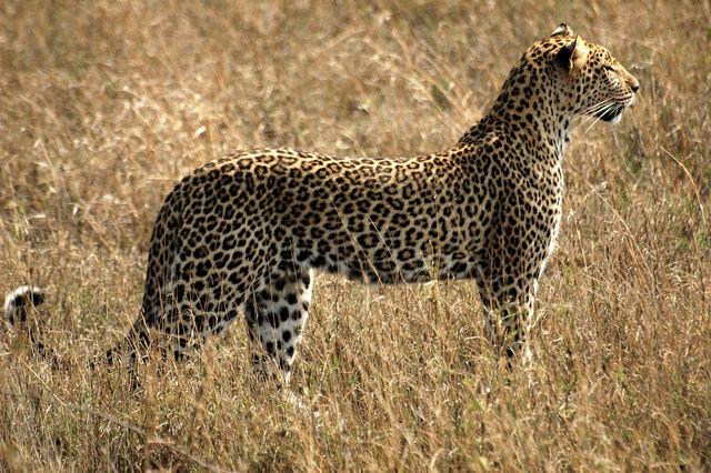 File:African Leopards.jpg