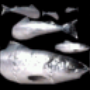 AoM Fish Icon