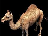 Camel (Gaia)