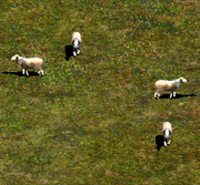 Aoe2 sheep