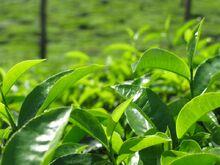 Ceylon-tea-2
