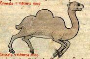 Dromedary-13th-c-bestiary