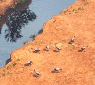 Rheas in pampa