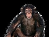 Chimpancé