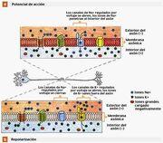 Canais de sodio e potassio regulados pela voltagem