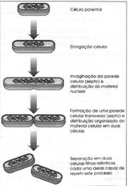 Fissão Binária Transversal