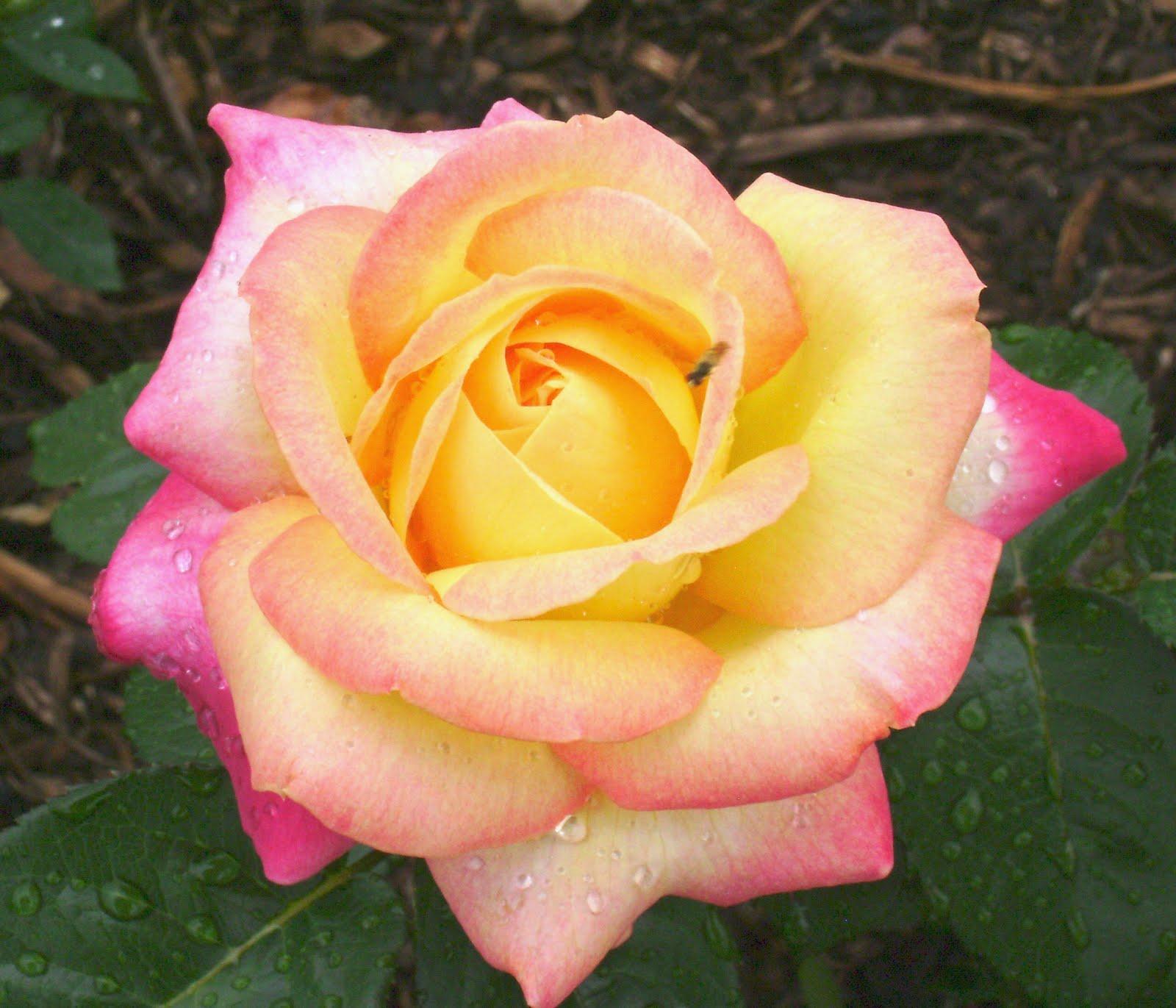 Rosa Peace Jpg