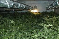 Benjdanks brazillian weed farm