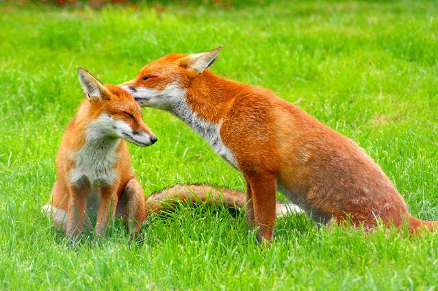 File:Red Fox (Vulpes vulpes) -British Wildlife Centre-8.jpg