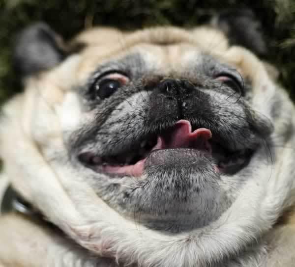 Image Dog Picture Photo Goofy Pug Facejpg Animal Jam Stories