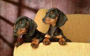 -Dachshunds-dachshunds-13634827-1680-1050