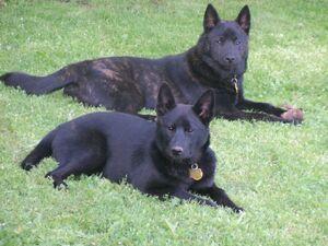 Kai-ken-dogs-photo