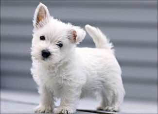 West-Highland-White-Terrier-13