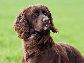 German-Longhaired-Pointer-1