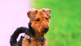 Welsh-terrier-puppy-photo