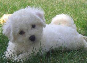 Bichon-frise-puppy-cut