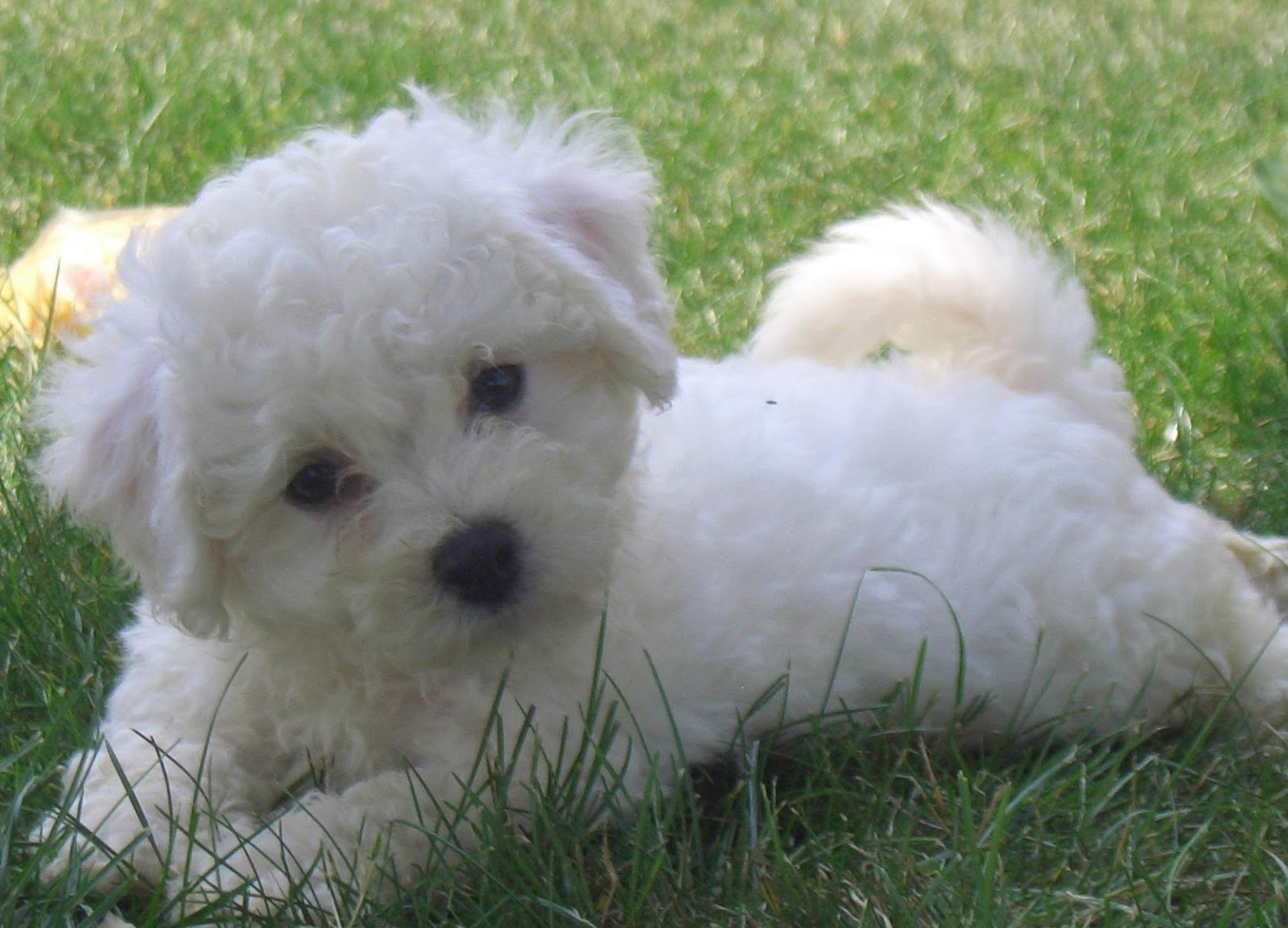 Bichon Frise Akc Dog Breeds Wiki Fandom