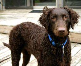 Curly-coated-retriever-1