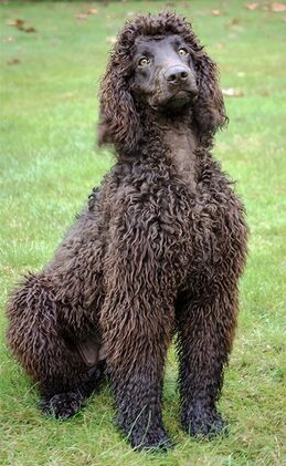 Irish water spaniel3