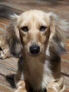 Blonde dachshund