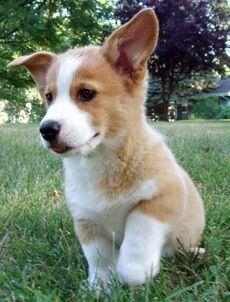 Pembroke-Welsh-Corgi-Puppy