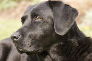 Labrador Retriever black portrait Ellis