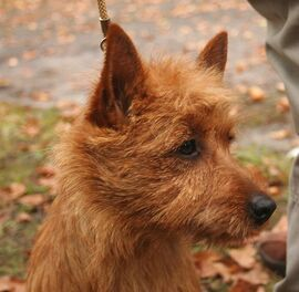 Norwich terrier glowa rybnik-kamien ppl