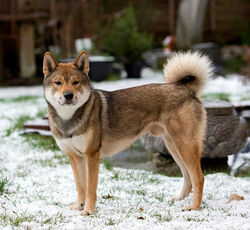 Shikoku-dog-in-the-snow-photo