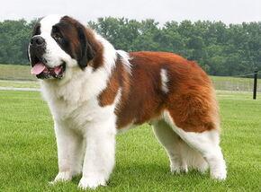 Biggest Saint Bernard pup