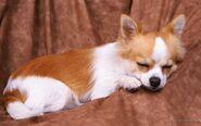 The-Sweet-Chihuahua-chihuahuas-18633410-1680-1050