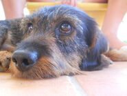 Wire haired dachshund by furiarossa-d47cjol