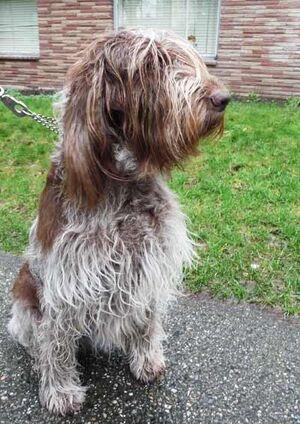 Spinone Italiano Dog Breed Photos 22