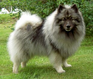 Keeshond-Pictures-3