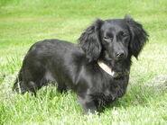 Longhaired black dachshund