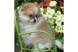 Pomeranian-puppies-for-adoption 1