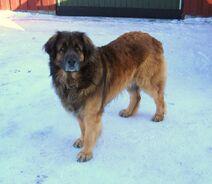 Leonberger Norway
