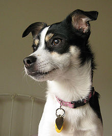 220px-Lucy, a Rat Terrier