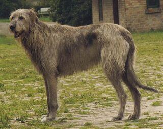Irish Wolfhound Sam