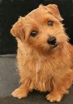 Terrier-dog-breeds-terrier-puppies