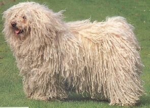 White-puli-dog-photo