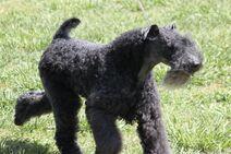 Kerry-blue-terrier-2