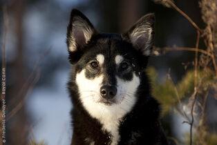 Lapponian-herder-dog-portrait-photo