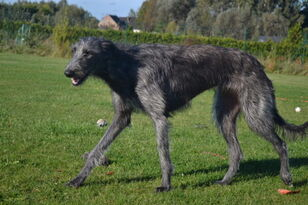 Scottish-deerhound-05