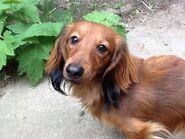 Longhair dachshund