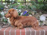 Red-miniature-long-haired-dachshund-520ce14544039