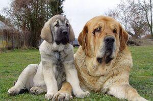 Spanish Mastiffs